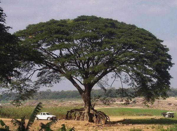 Baumbild ein riesiges freies Wurzelwerk