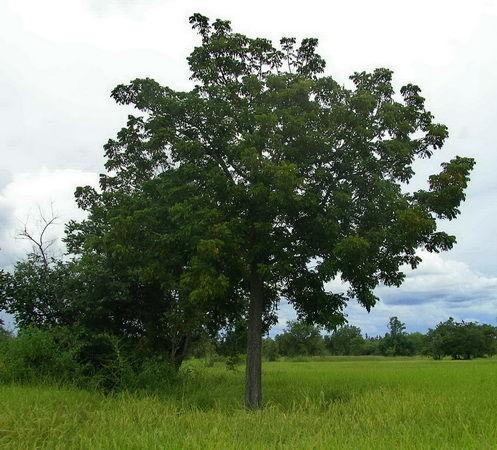 Baum  im Reisfeld