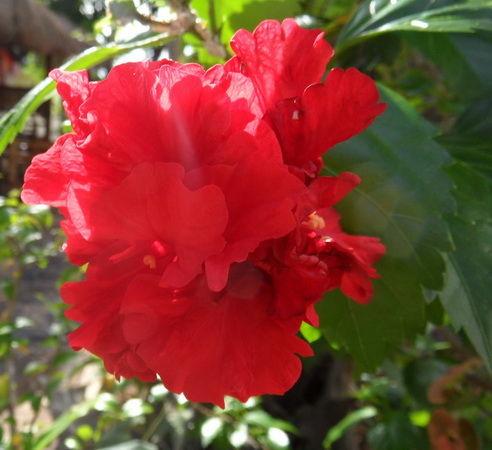 Blumen Rote Rose