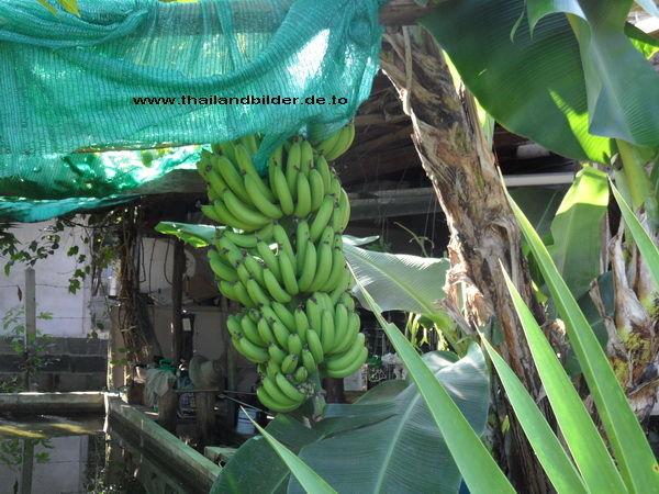 Bananenbild am Stamm