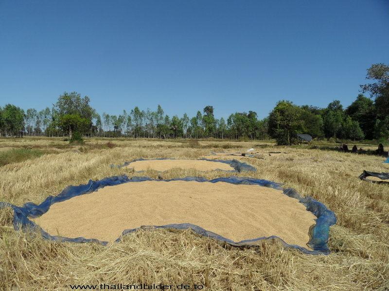 Reis zum trocknen ausgelegt
