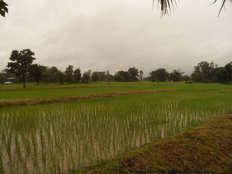 Reisfeld bewässert