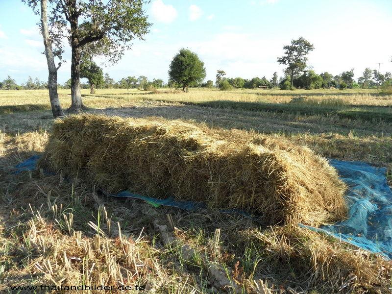 Reis zum dreschen bereit