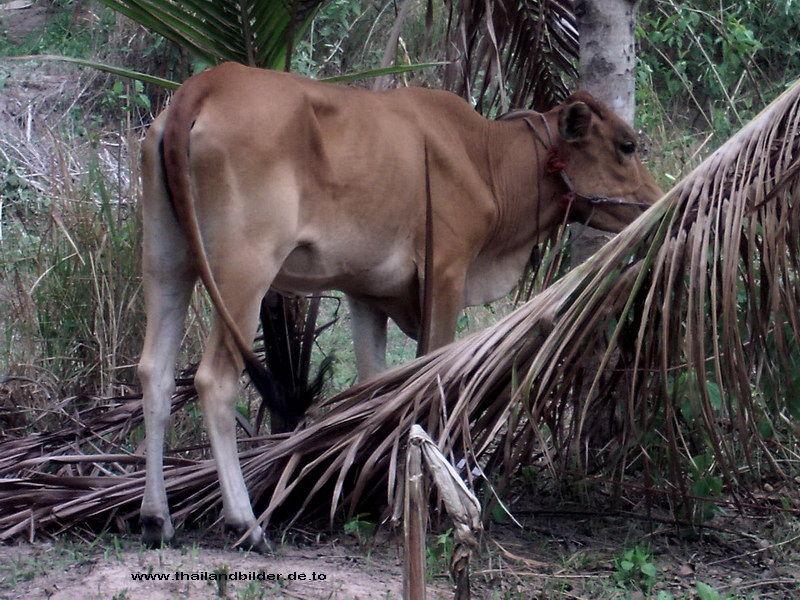kühe /wasserbüffel bilder