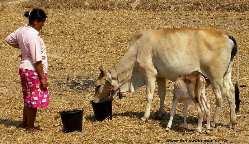 Kühe trinken