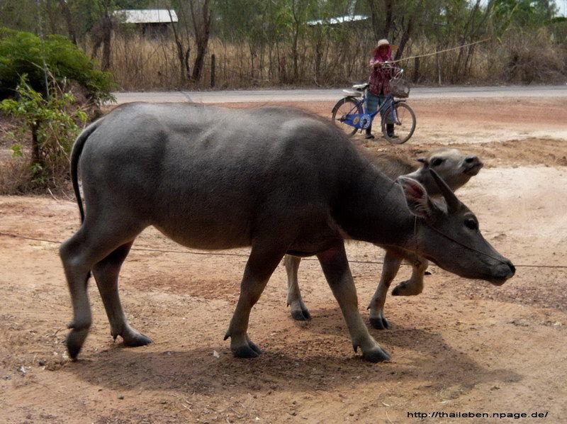 wasserbüffel mit Jungtier