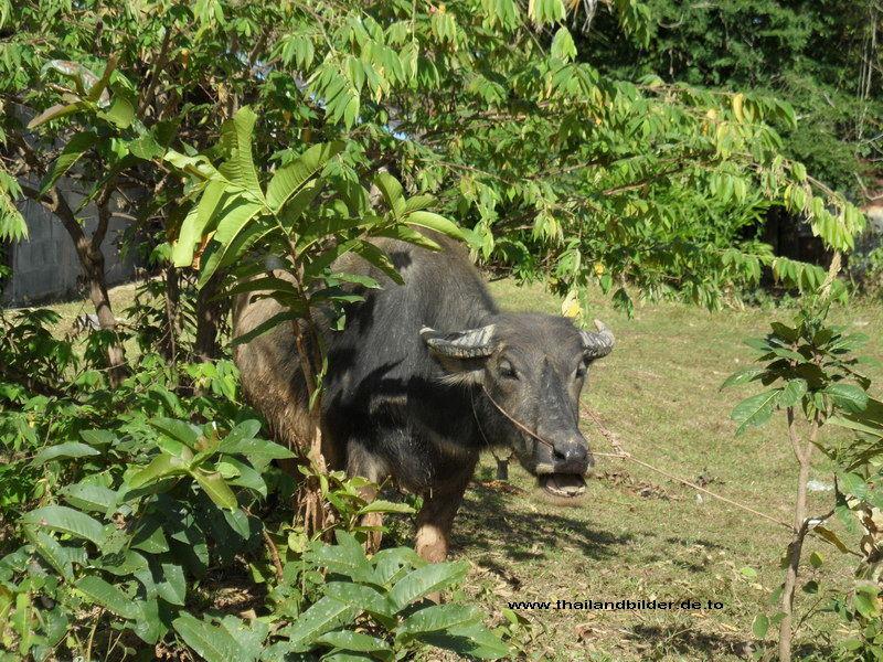Wasserbüffel im grünen