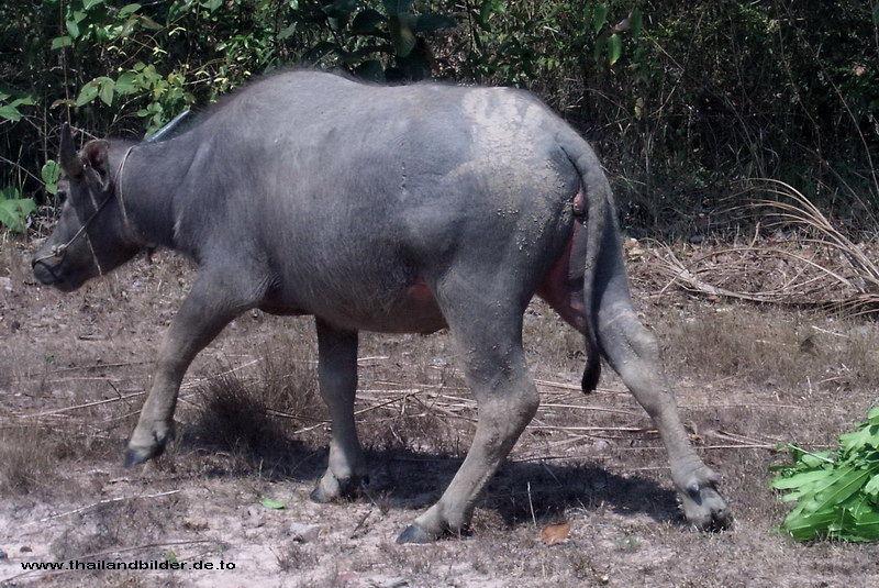 Wasserbüffel marsch