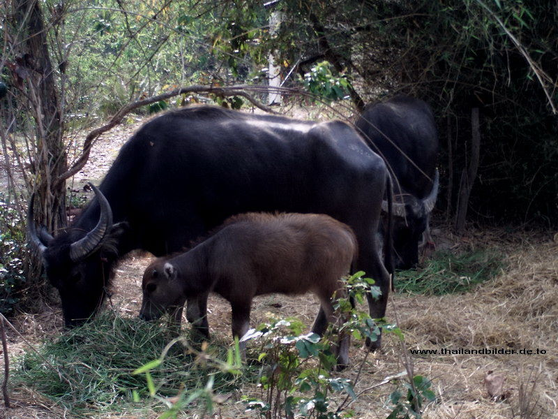 wasserbüffel bilder Familie