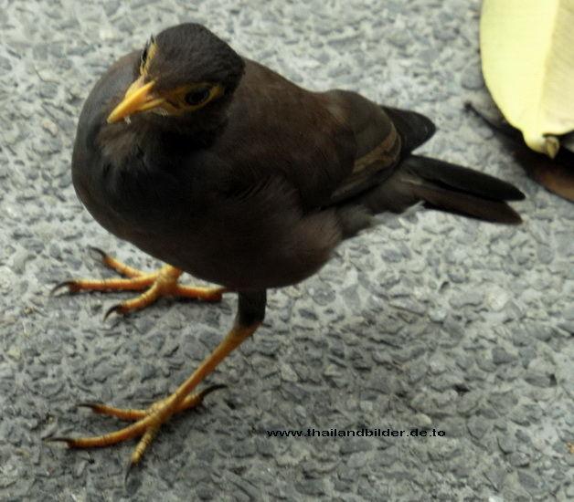 Gelbschnabelvogel