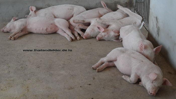 Jungschweine