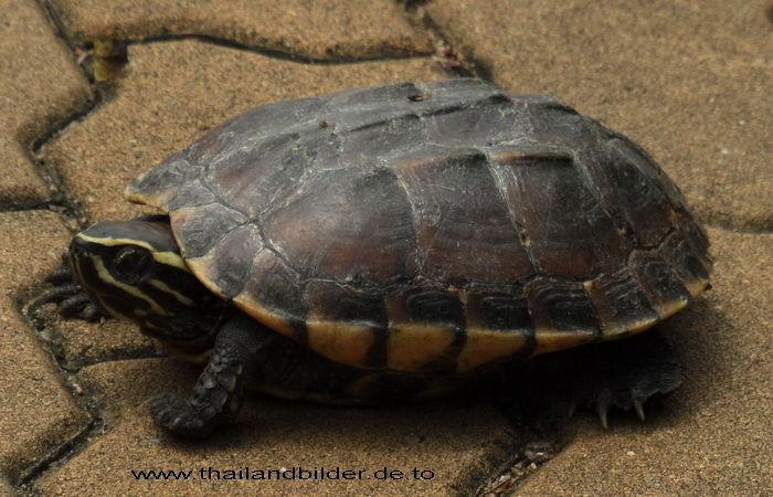 Tierbilder Schildkröte