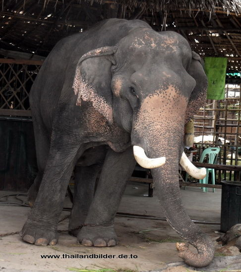 Tierbilder alter Elefant