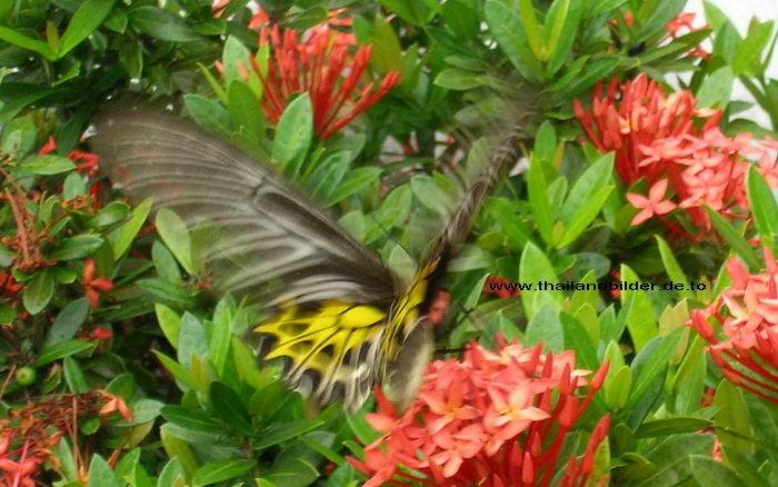 Tierbilder Schwarz gelber Schmetterling