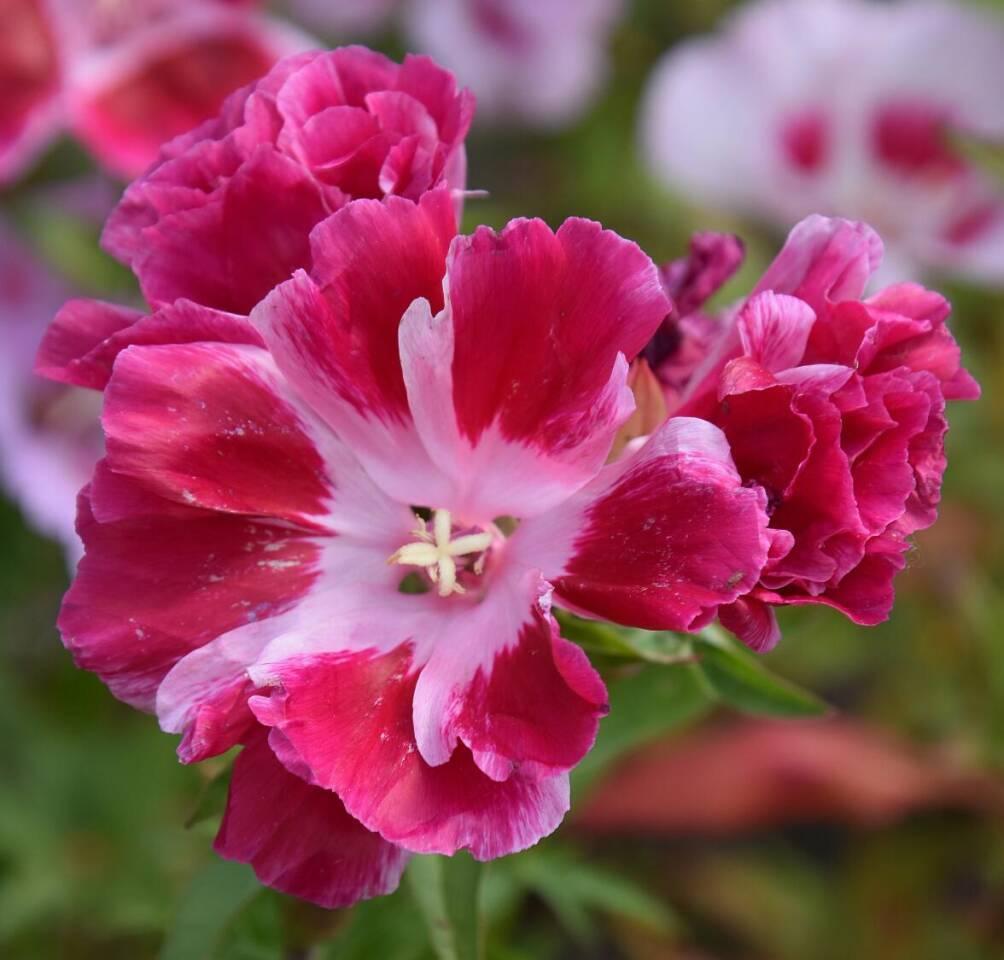 Daylily Blumensamen,winterhart mehrj/ährig Taglilie Pflanzensamen duftend Bl/üten,Einfach Wachsen Beautytalk-Garten 50 Taglilie Samen Hemerocallis