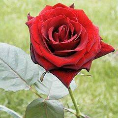 Baccara-Rose