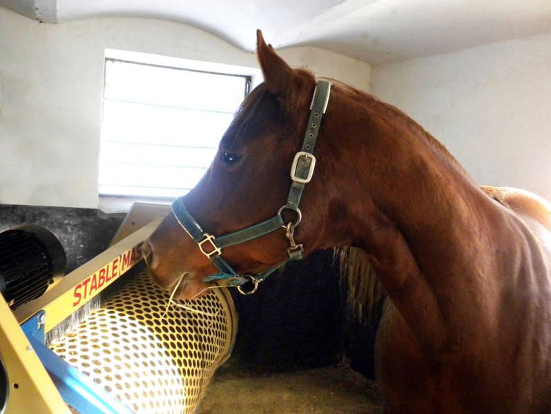 In Pferdebox beim Ausmisten
