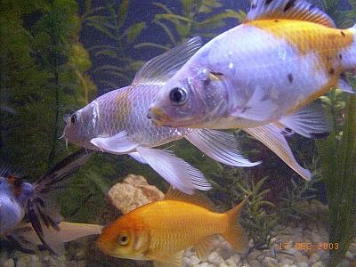 Cuys und ch teddys vom geyersberg for Aquarium fische im teich