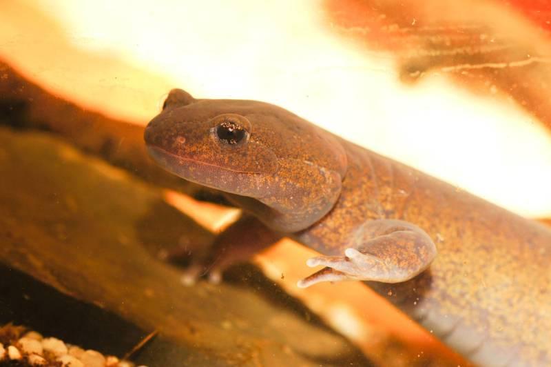 Hynobius retardatus molch newt salamander breeding eggsack