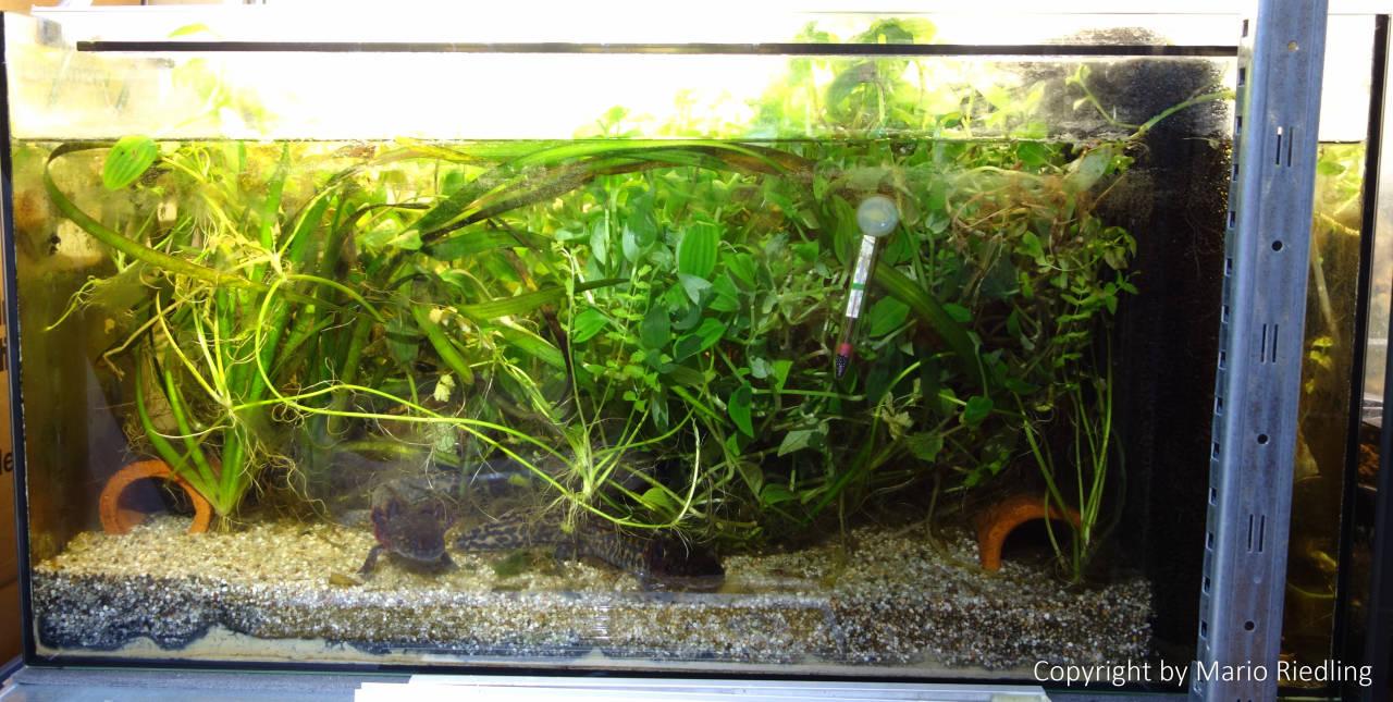 andersoni ambystoma salamander newt tank enclosure newt triton molch