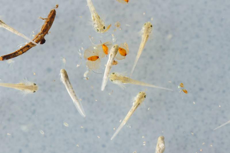 Ambystoma californiense california tier salamander larvae