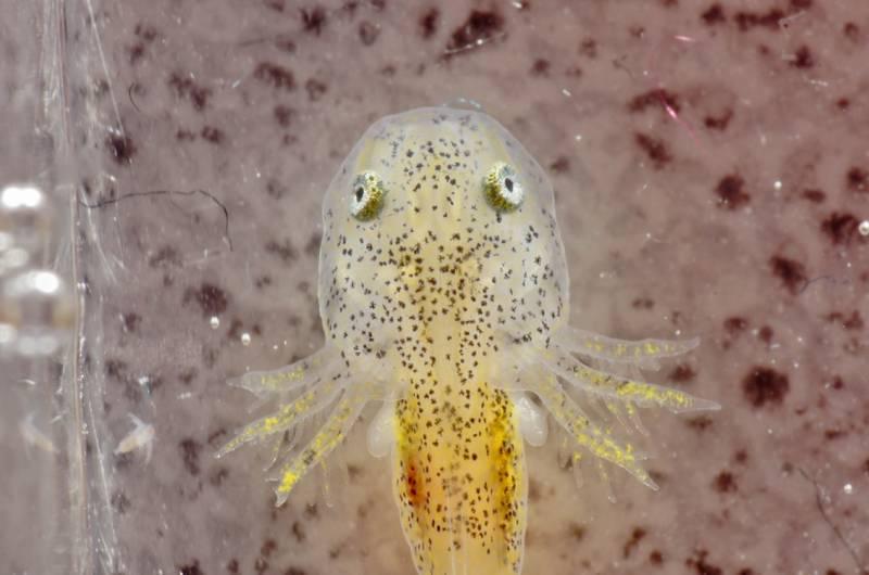 Ambystoma californiense larva tiger salamanader