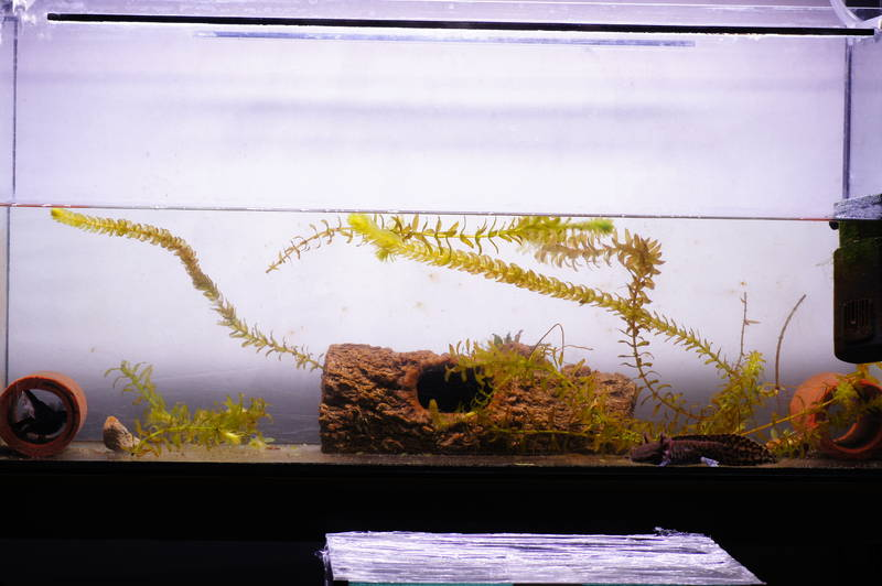 Aquarium andersoni ambystoma walstad diana