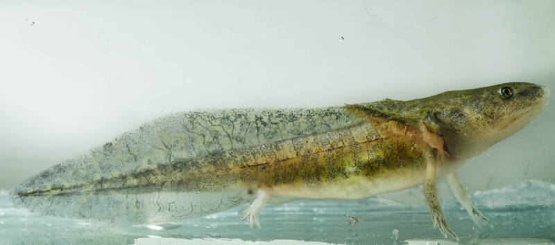 Ambystoma californiense tier salamander newt molch triton tiger