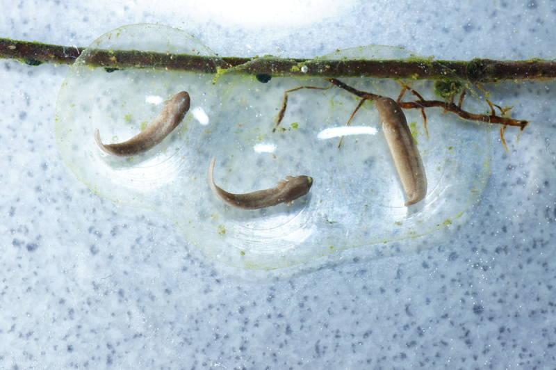 Ambystoma macrodactylum salamander molch newt triton larva egg