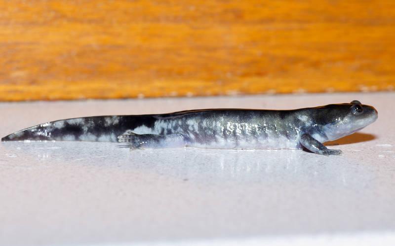 Ambystoma californiense california tiger salamander newt triton