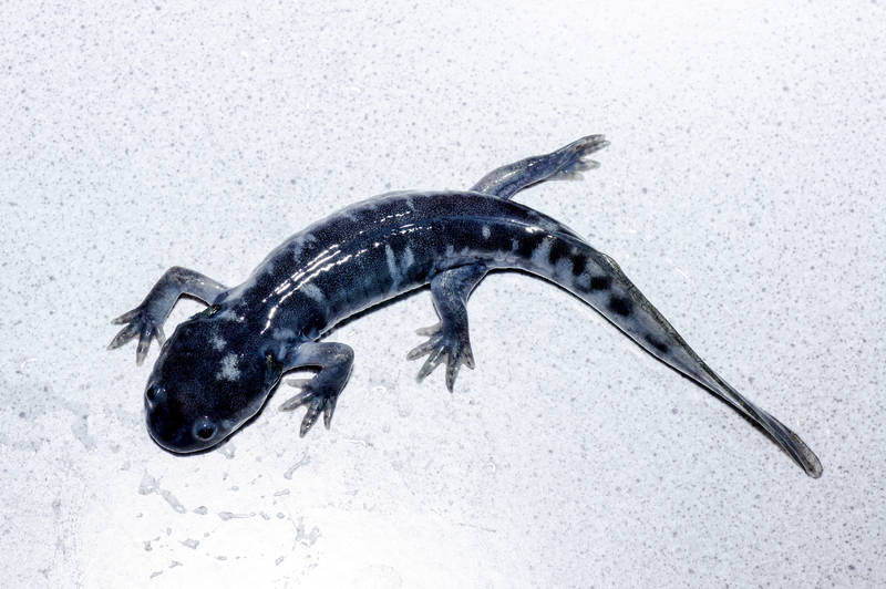 Ambystoma californiense california tiger salamander molch newt triton salamandre larva california