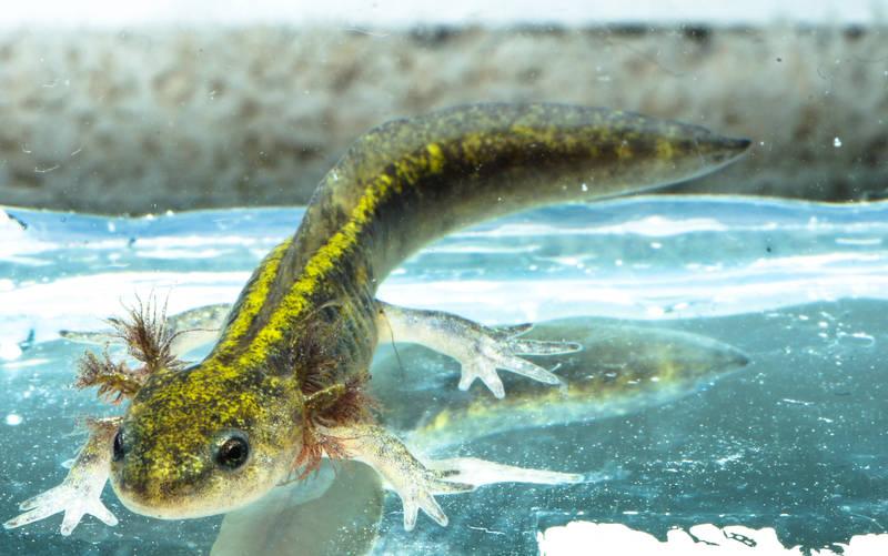 Ambystoma macrodactylum long toed salamander molch newt larva triton salamandra
