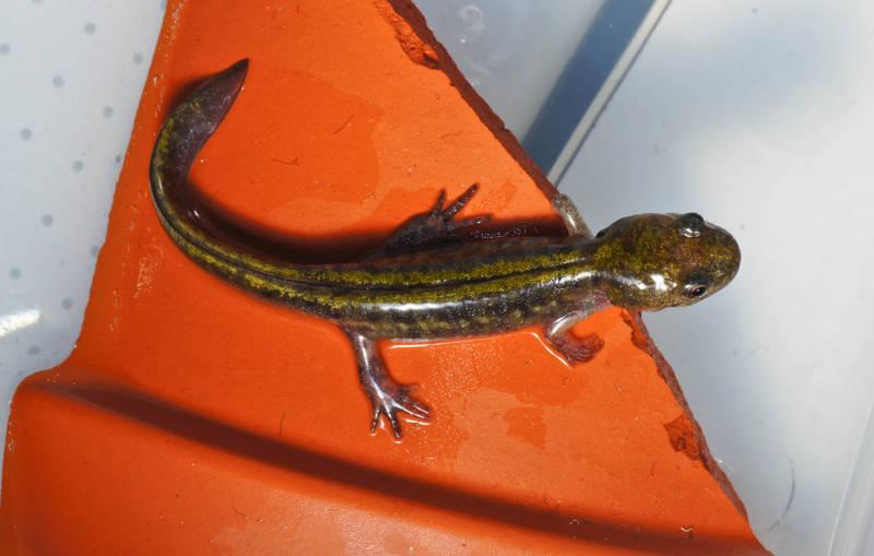 Ambystoma macrodactylum long toed salamander newt molch triton salamandre
