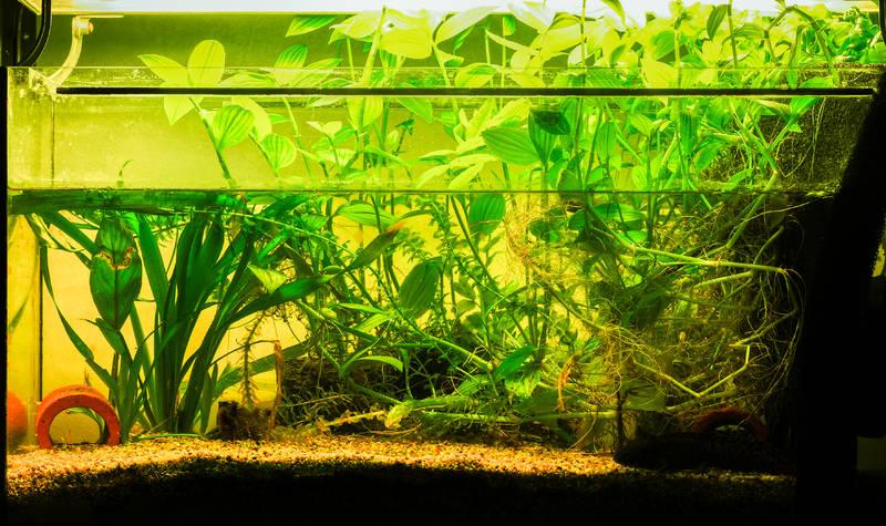 Aquarium walstad andersoni axolotl ambystoma salamander newt fish tank tradescantia