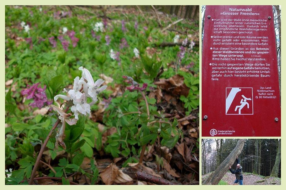 Bad Iburg - Naturwald Großer Freeden - Lerchenspornblüte