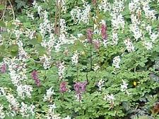 Bad Iburg - Lerchenspornblüte im Freeden