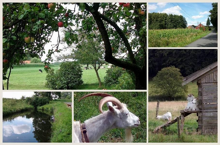 Vehrte - Kuhherde und Ziegen
