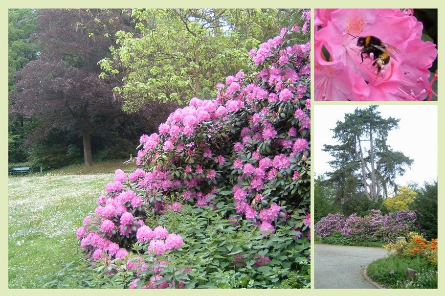 Bürgerpark Osnabrück - Rhododendronblüte