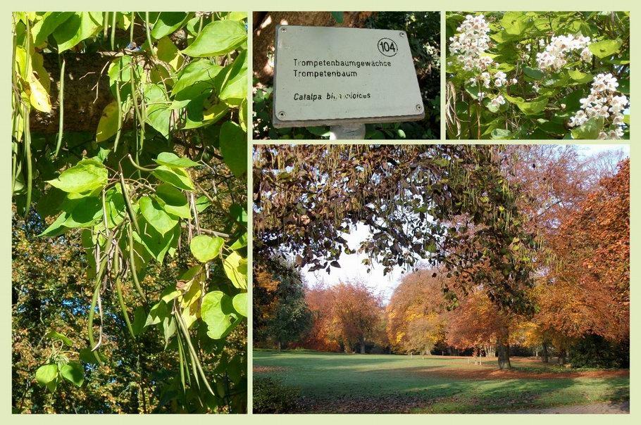 Bürgerpark Osnabrück Trompetenbaum