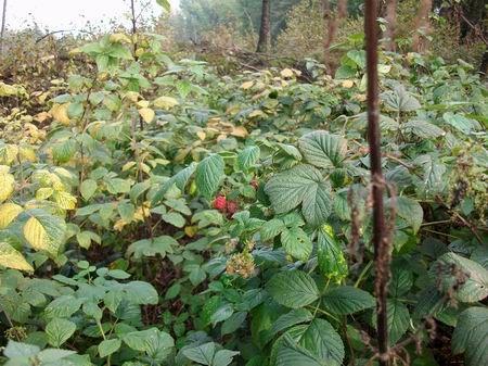Rödinghausen Wanderung zum Grünen See Herbsthimbeeren