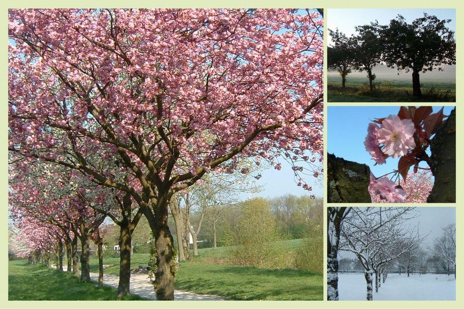 Kirschbaumallee in den Wiesen beim Bürgerpark - Osnabrück
