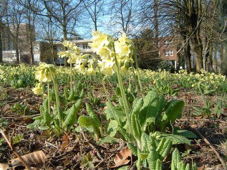 osnabrueck bürgerpark schluesselblumen