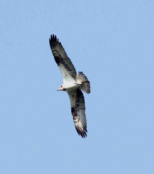 Fischadler am Rohrsee
