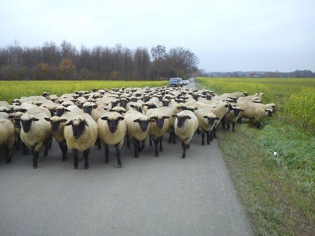 Wanderung mit der Schwarzkopf-Herde