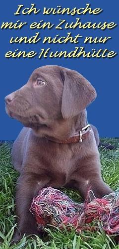 Labrador-Zucht von der Hasselfelde