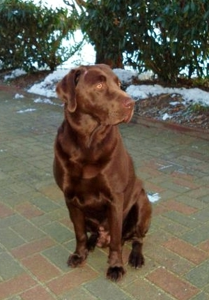 Choco Labrador Zuchtrüde Bosse vom Bultmannshof