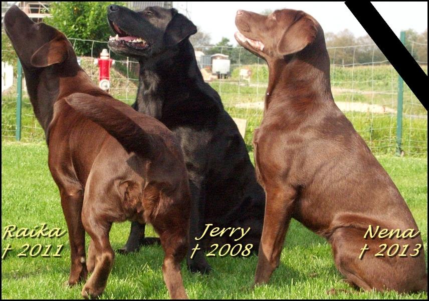 Choco-Labrador-Zucht von der Hasselfelde - Nena Raika Jerry
