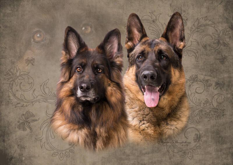 Deutscher Schäferhund Langhaar Schäferhund