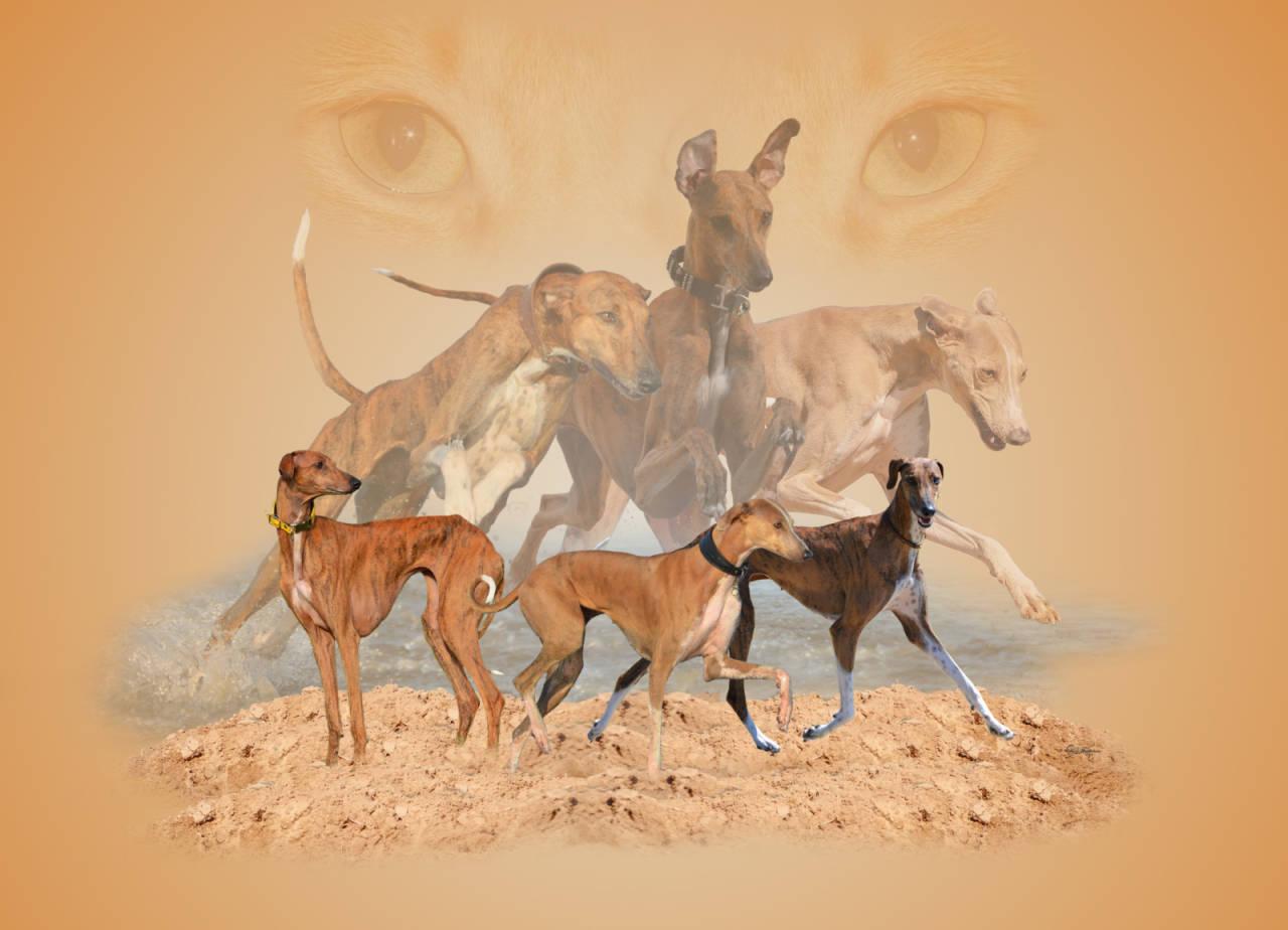 Collage Windhunde