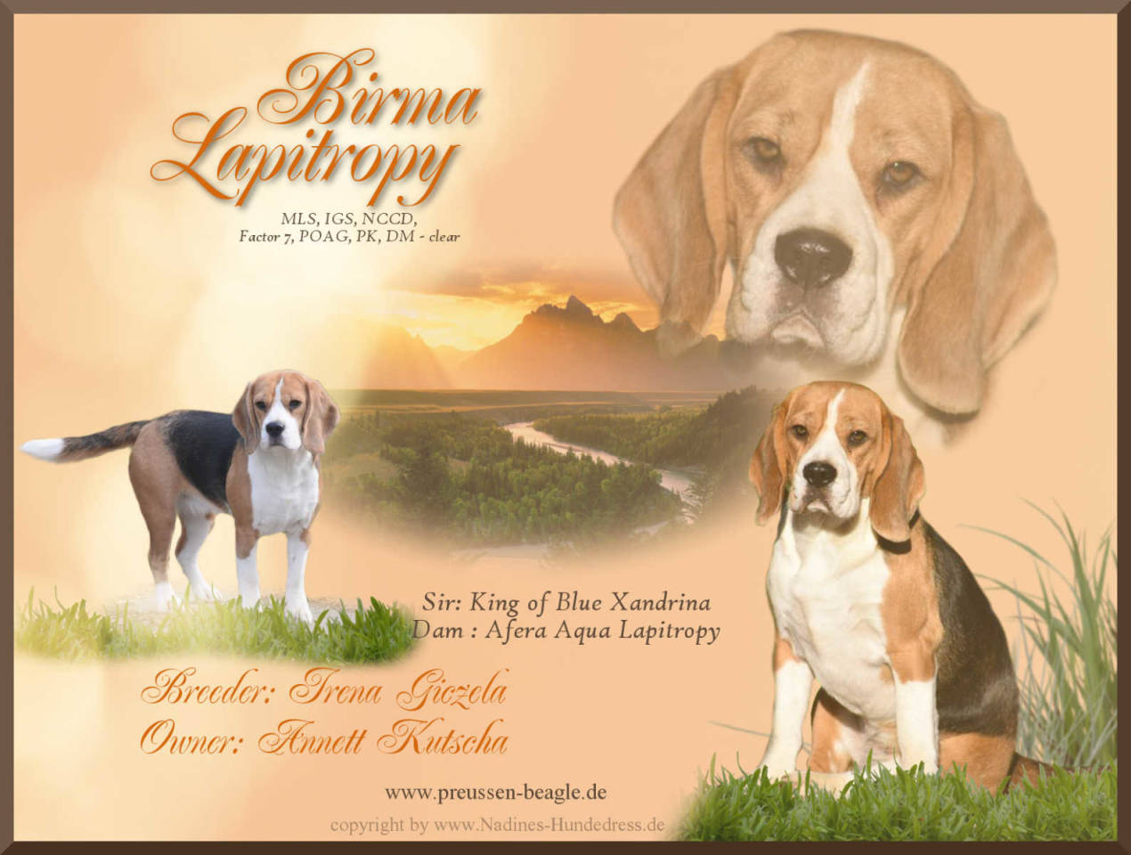 Beagle Birma Lapitropy Rüdenpräsentation